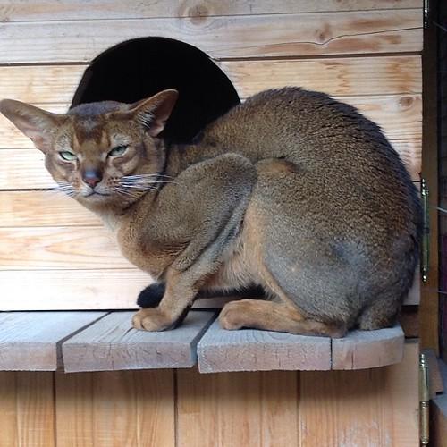 А вот и кот, что такое крымская гроза, он явно забыл! #старыйкрым  #abyssinian