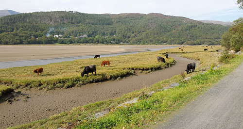 Cows grazing beside the Mawddach Trail