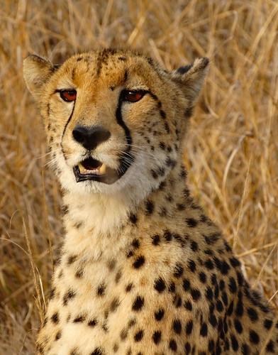 southafrica cheetah kwazulunatal phinda acinonyxjubatus jachtluipaard