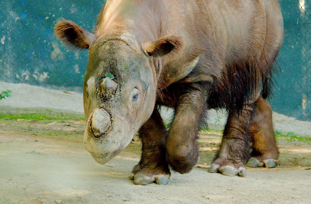Sumatran Rhinoceros (Dicerorhinus sumatrensis)_5
