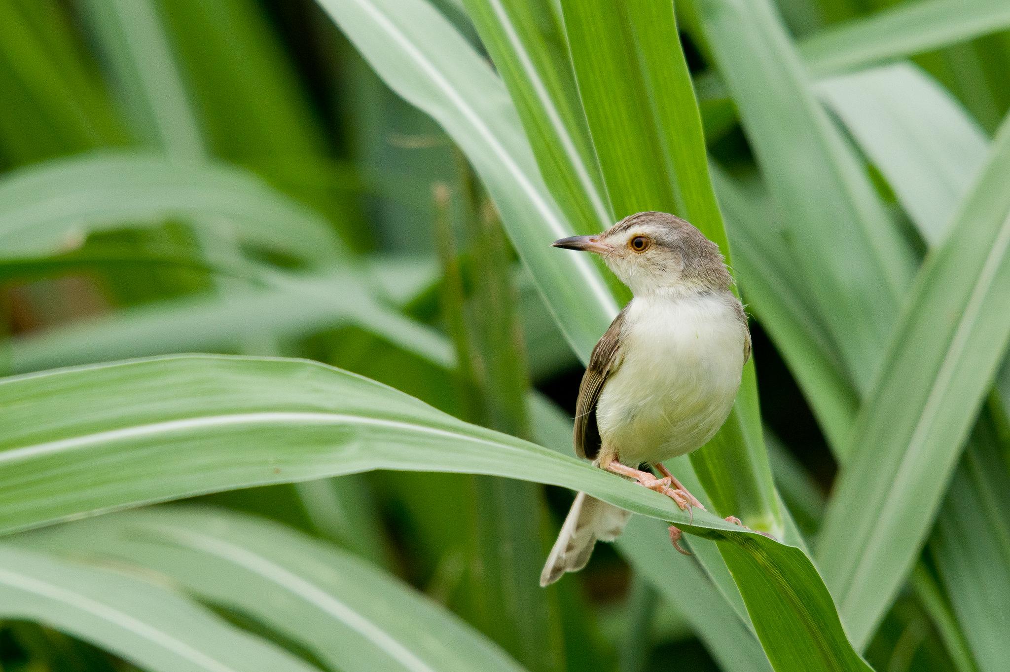 褐頭鷦鶯一張流
