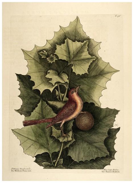 007-Tangara de verano-Natural History of Carolina, Florida and the Bahama Islands-Vol1-1754