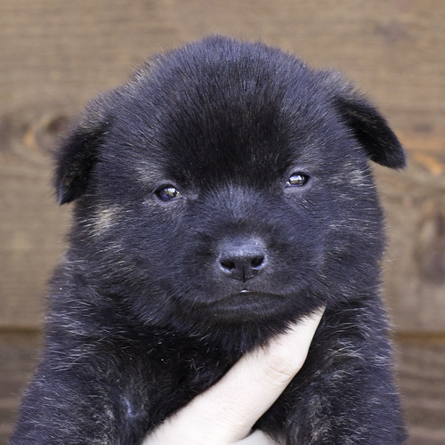 Nori-Litter2-30Days-Puppy5(male)a
