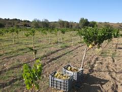 Xinisteri grapes at Choulou vineyard