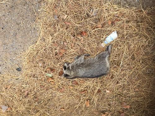 Dead Racoon - Road Kill