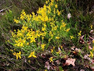 Genista hispanica = Genêt d'Espagne (petites plantes très piquantes)