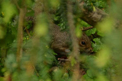 467 - Edinburgh - botanic gardens - Squirrel