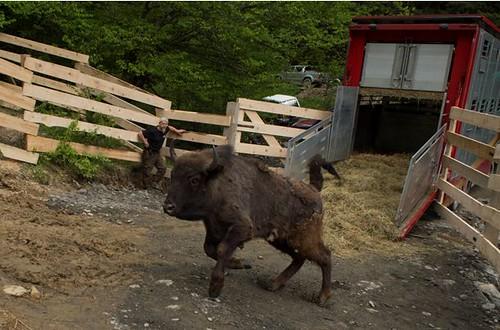 歐洲野牛的野放回歸(圖片來源:Rewilding Europe)