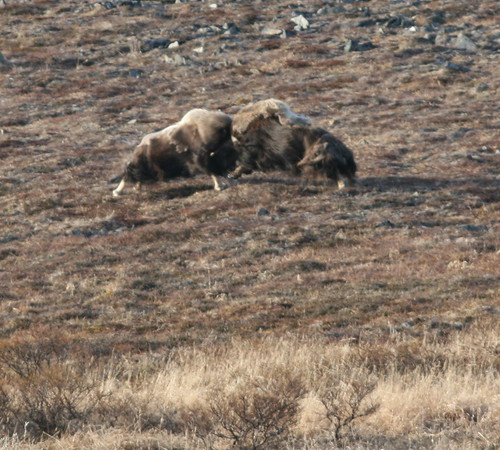 Musk Oxen fighting