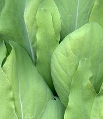 56051.13 Brassica rapa chinensis