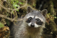 animal(1.0), raccoon(1.0), mammal(1.0), fauna(1.0), whiskers(1.0), viverridae(1.0), procyon(1.0), wildlife(1.0),