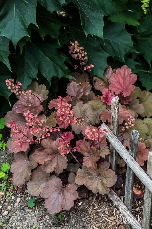 Heuchera Cherry Cola 14644758675_6854371e8d_c