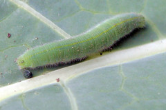 cabbage worm on broccoli