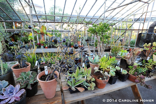 Inside the greenhouse at Pomarius Nursery