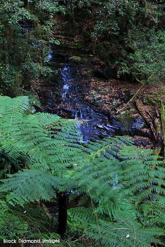 Cyathea australis at Filmy Fern Falls - Plateau Beech Walking Track Werrikimbe National Park, Wauchope, NSW