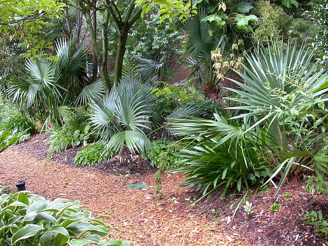 Sabal minor 'McCurtain'