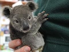 animal, mammal, koala, fauna,