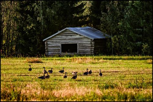 morning trees tree field grass birds barn forest sunrise geese goose linda skog lada träd soluppgång morgon åker fåglar gäss gräs