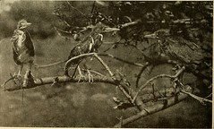 """Image from page 87 of """"Bird lore"""" (1899)"""