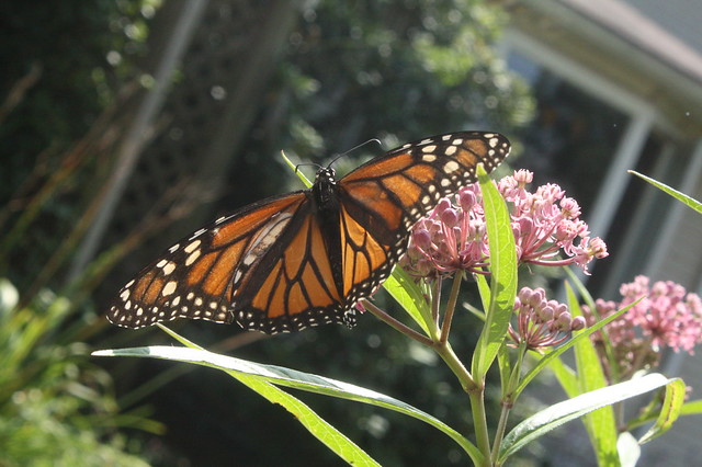 a Monarch Sighting!