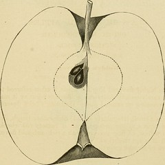 """Image from page 664 of """"American pomology. Apples"""" (1867)"""