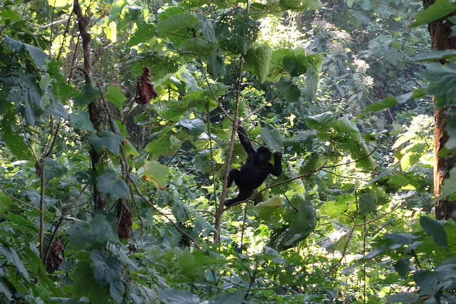 140625 Gorilla Baby (5)