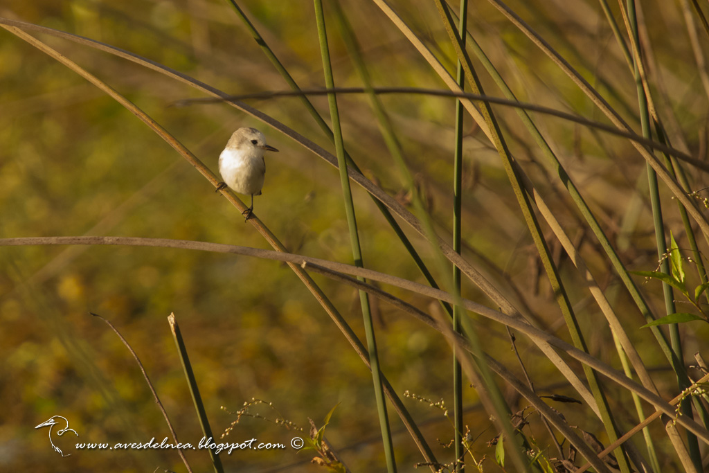 Lavandera (White-headed marsh-Tyrant) Arundinicola leucocephala