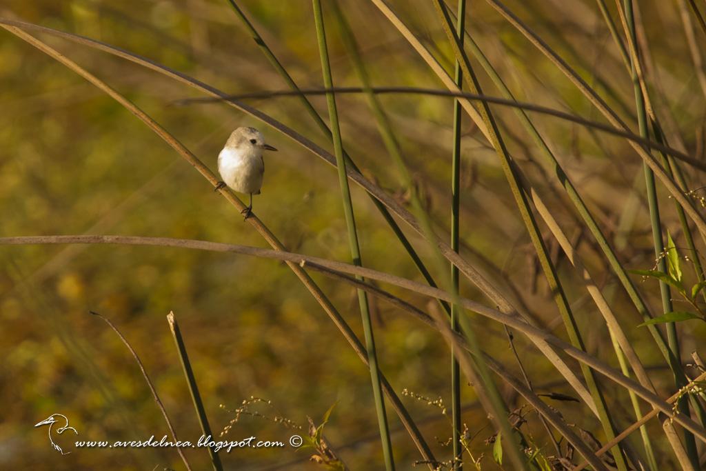 Lavandera (White-headed marsh-Tyrant) Arundinicola leucocephala