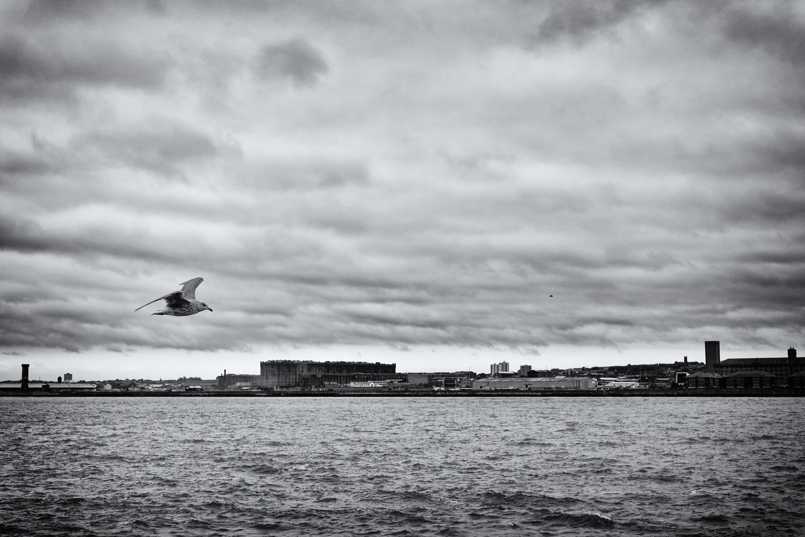 Mersey Gull