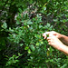 Small photo of Amelanchier canadensis