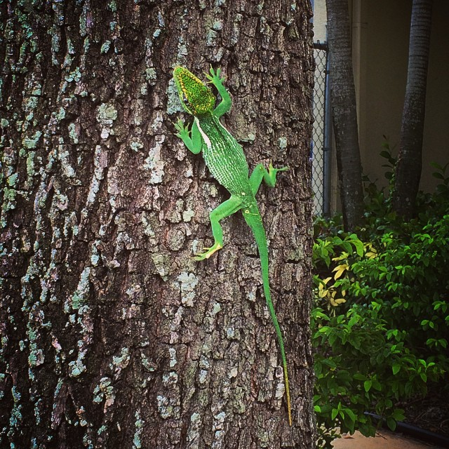 Saw this amazing & #beautiful #lizard outside our temple the other day! #lizards #lizardsofinstagram #wildlife #southflorida #crazysouthfloridalizardspotting #animals #reptile
