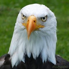 wing(0.0), egyptian vulture(0.0), animal(1.0), bird of prey(1.0), eagle(1.0), fauna(1.0), bald eagle(1.0), accipitriformes(1.0), beak(1.0), bird(1.0), wildlife(1.0),