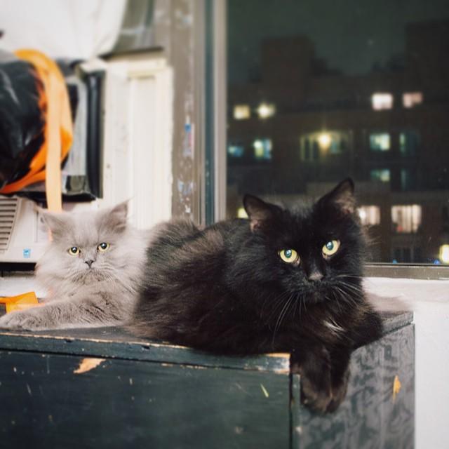 2 City Boys.  #cats #cat #goblin #cats #cat #persiancat #Persian #fluffy #fluffball #kitten #furry #catsofinstagram #greycat  #blackcat #brother #brothers #mainecoon #mainecooncat #boys #city #nyc #brooklyn