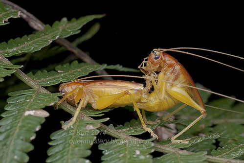 Mating crickets IMG_1390 copy