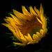 Sunflower by Attic Light