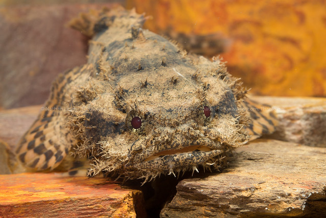 Estuarine toadfish (Batrachomeus trispinosis)