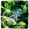 The #borage just keeps blooming. Courageous indeed.