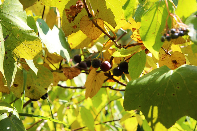 wild harvesting :: concord grapes