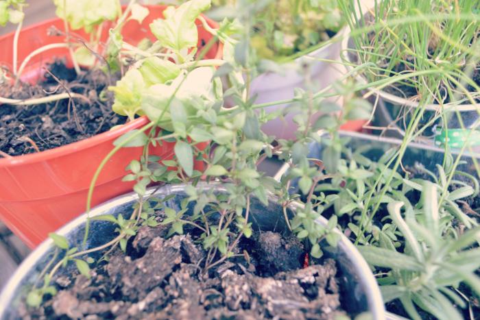 coriander urban balcony garden