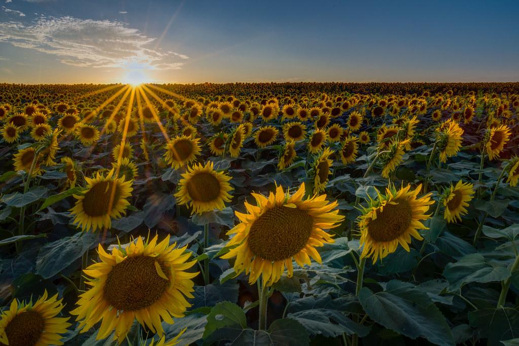 sunflower fields 2 by - photo #33