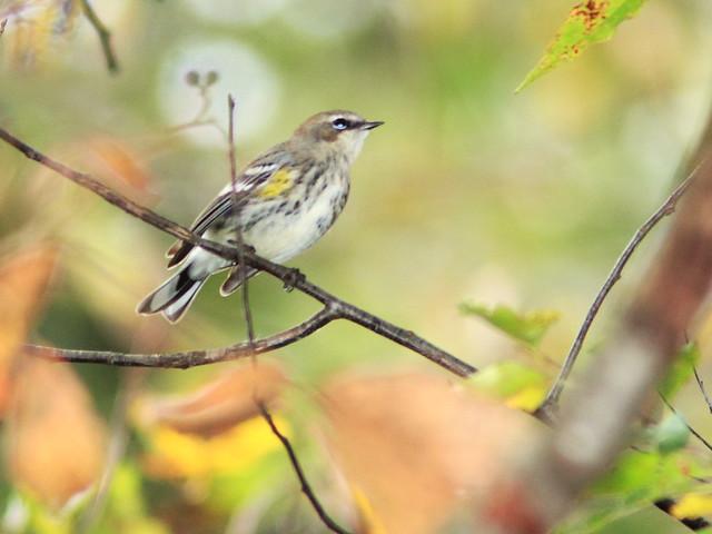 Yellow-rumped Warbler 3-20140925