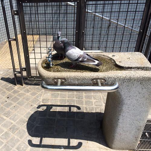 公園の水飲み場に鳩