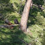 Black bear and a cub