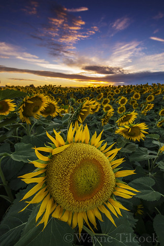 california flowers sunset sky yellow clouds woodland nikon sunflower davis yolo