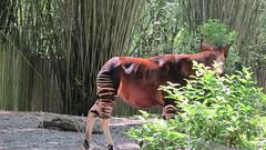 jungle(0.0), animal(1.0), zoo(1.0), okapi(1.0), fauna(1.0), forest(1.0), giraffidae(1.0), wildlife(1.0),
