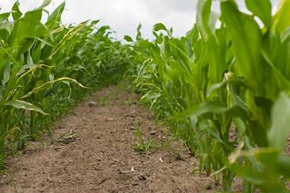 Maisfeld im Wachstum