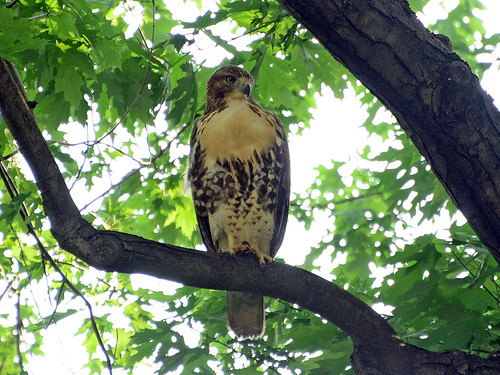 Juvenile Cathedral Hawk - 4155