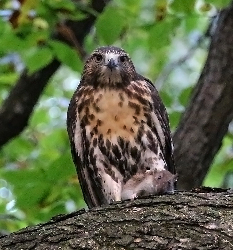 Juvenile red tail with rat