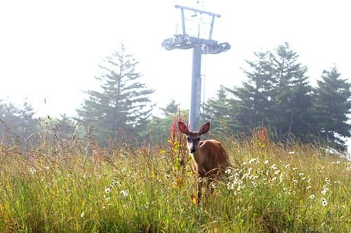 Snowshoe deer