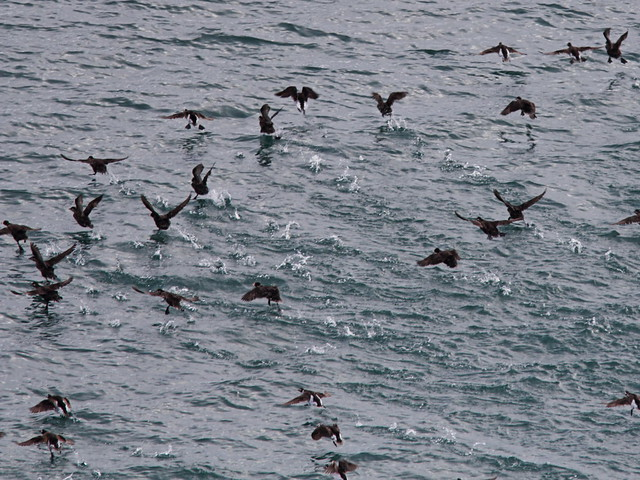 Surf Scoters and Long-tailed Ducks 2-20140619